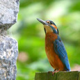 West Cork Kingfisher